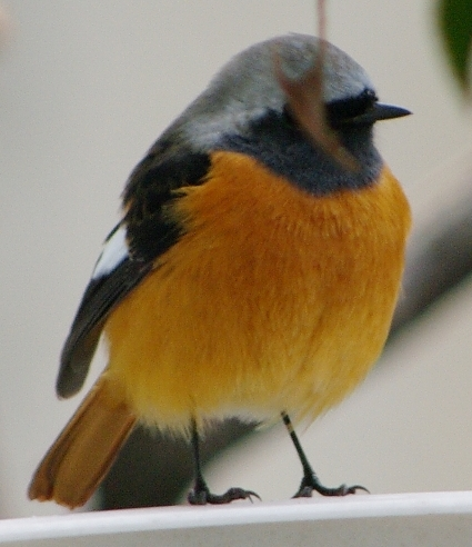 ジョウビタキの雄:日本では冬によく見られる渡り鳥