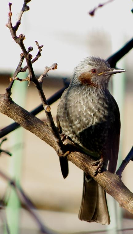 瑠璃色に輝く鳥 ヒヨドリと侮るなかれっ (PENTAX K20D)